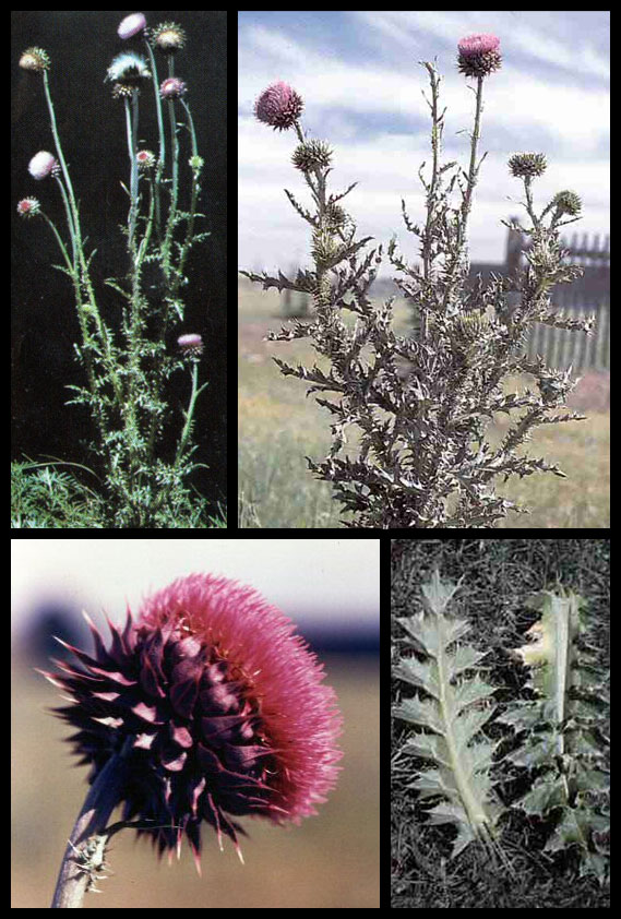 musk thistle and specific controls  u00b7 common weeds